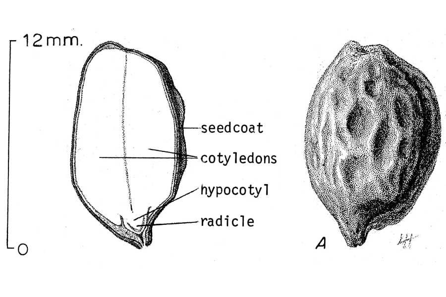 Jojoba - Wikipedia