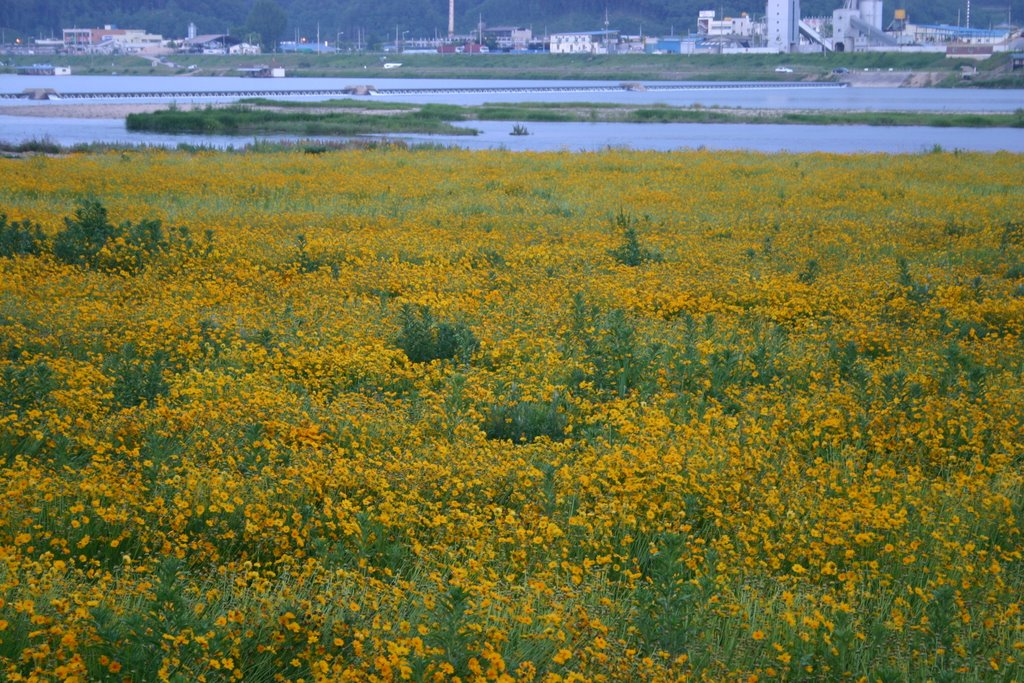 yellow flowers field. Yellow Flowers Field. flower