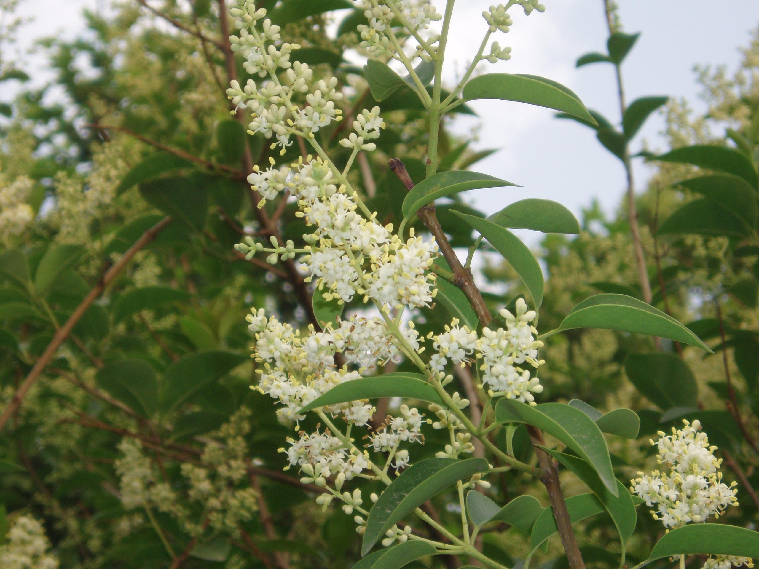 Haie De Troene Jardin : Ligustrum lucidum glossy privet