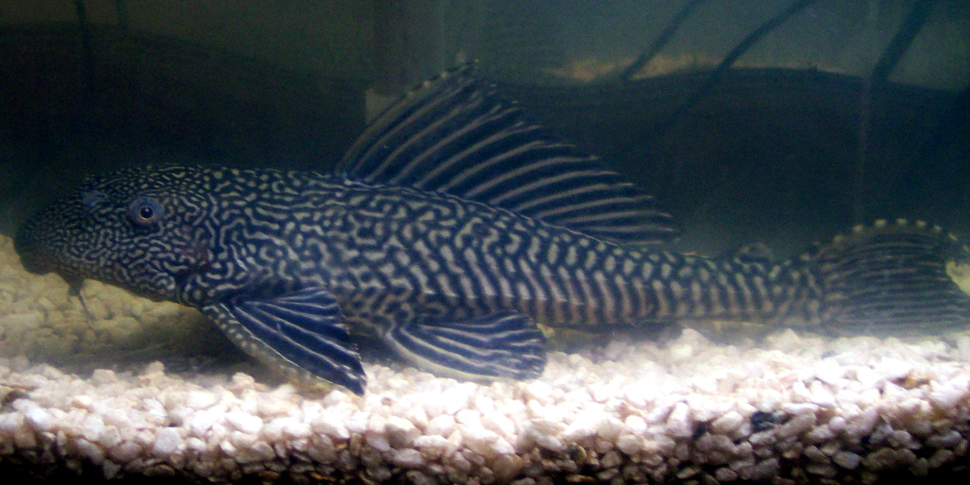 4 Commonly Sold Plecos...