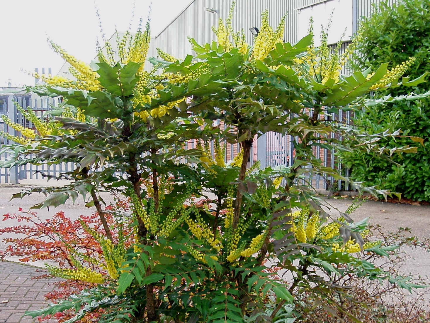 File mahonia wikimedia commons for Plante pour bordure plein soleil