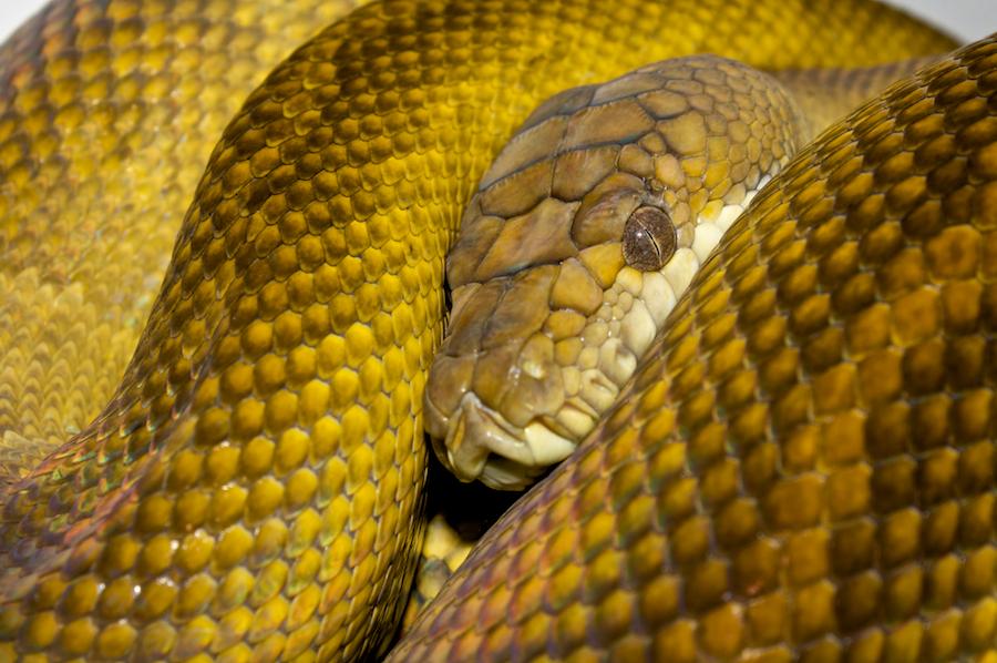 Seram-Python – Wikipedia