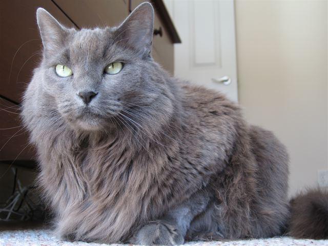 Nebelung Katze Wikipedia