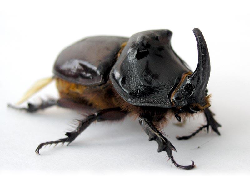 Oryctes nasicornis - Wikipedia, la enciclopedia libre