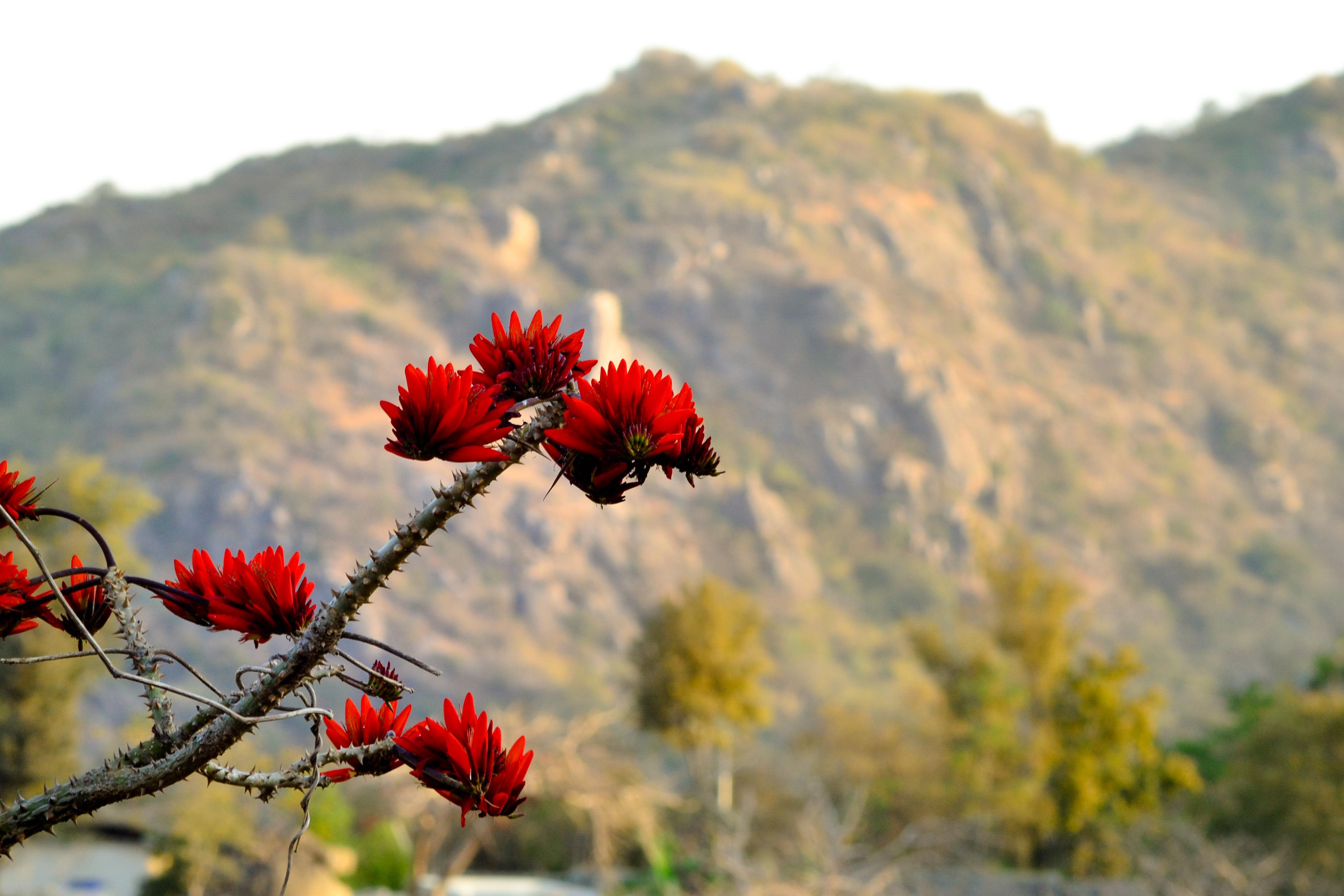 File:Palash flower.jpg - Wikimedia Commons Palash Flowers Images