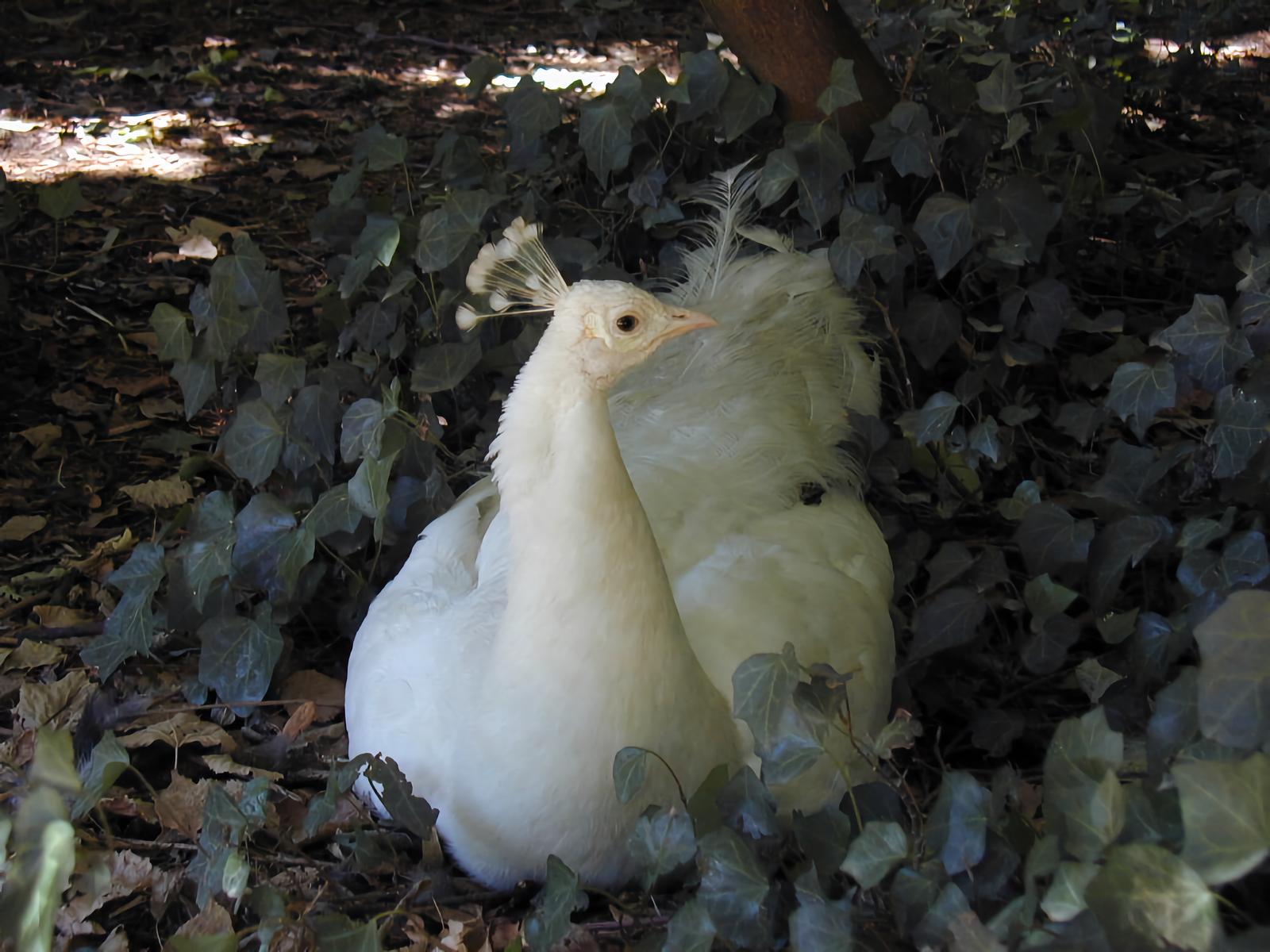 Semi albino peacock