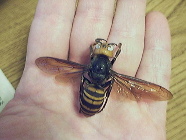 Giant Asian Hornet, Japanese Wasp