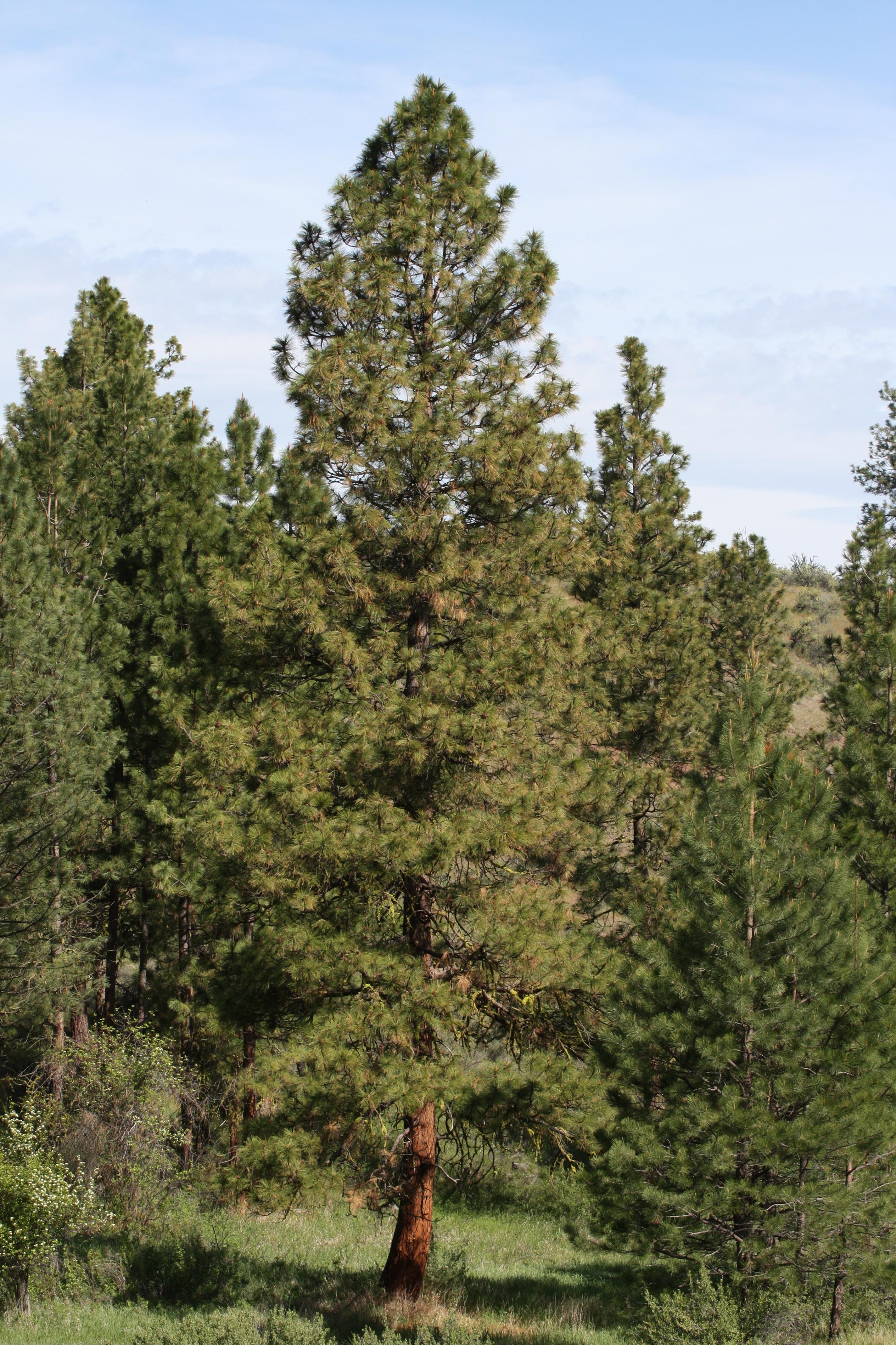 Ponderosa Pine Tree Images File:Pinus ponderosa 9...