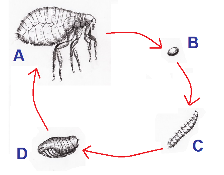 Bestand:Pulex irritans.Emberbolha cycle.png - Wikipedia