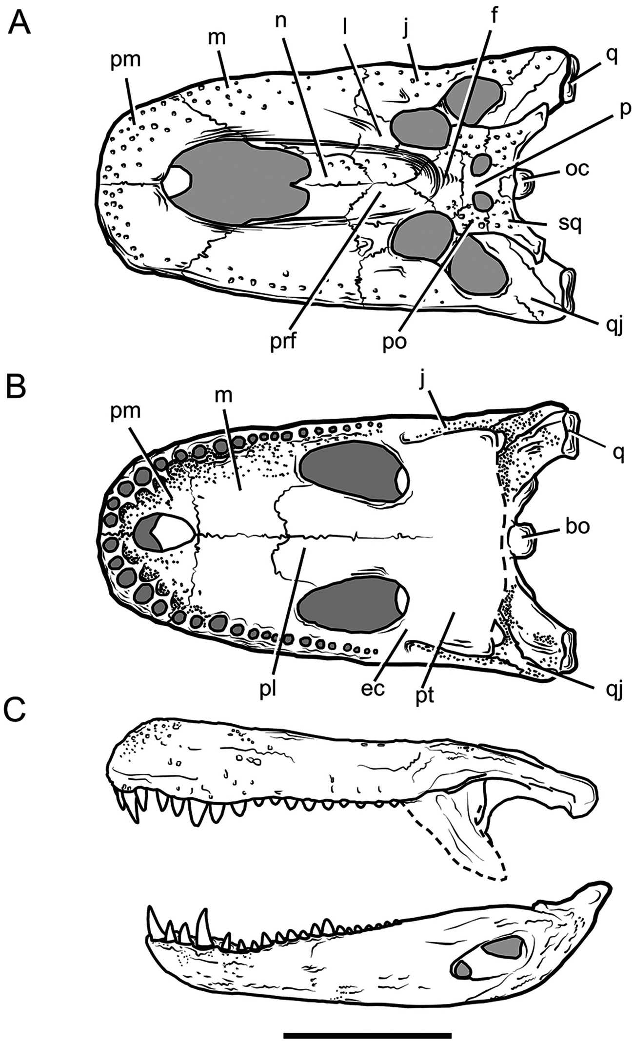https://upload.wikimedia.org/wikipedia/commons/a/a8/Purussaurus_skull.PNG