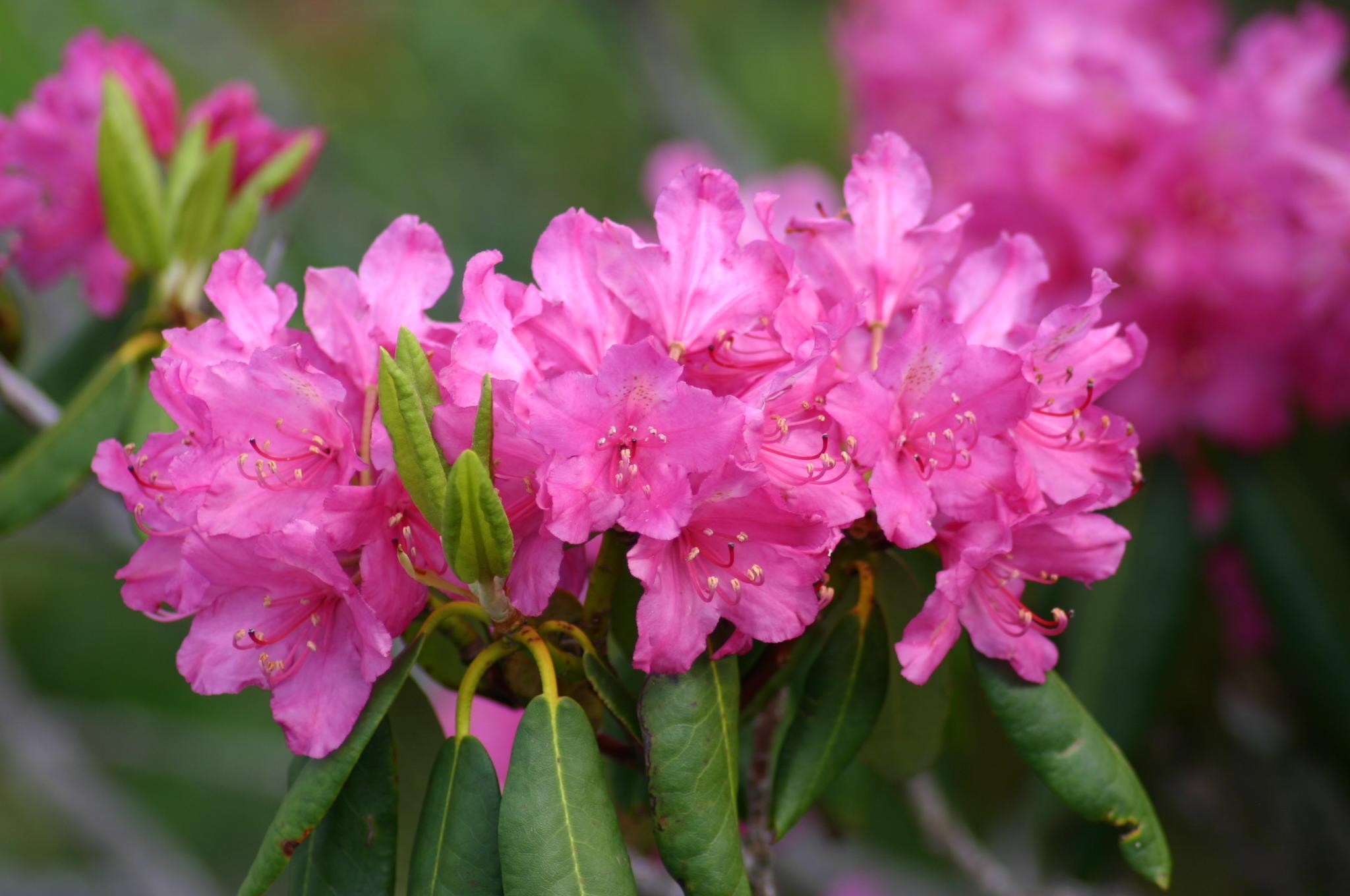 Rhododendron ponticum (2).jpg