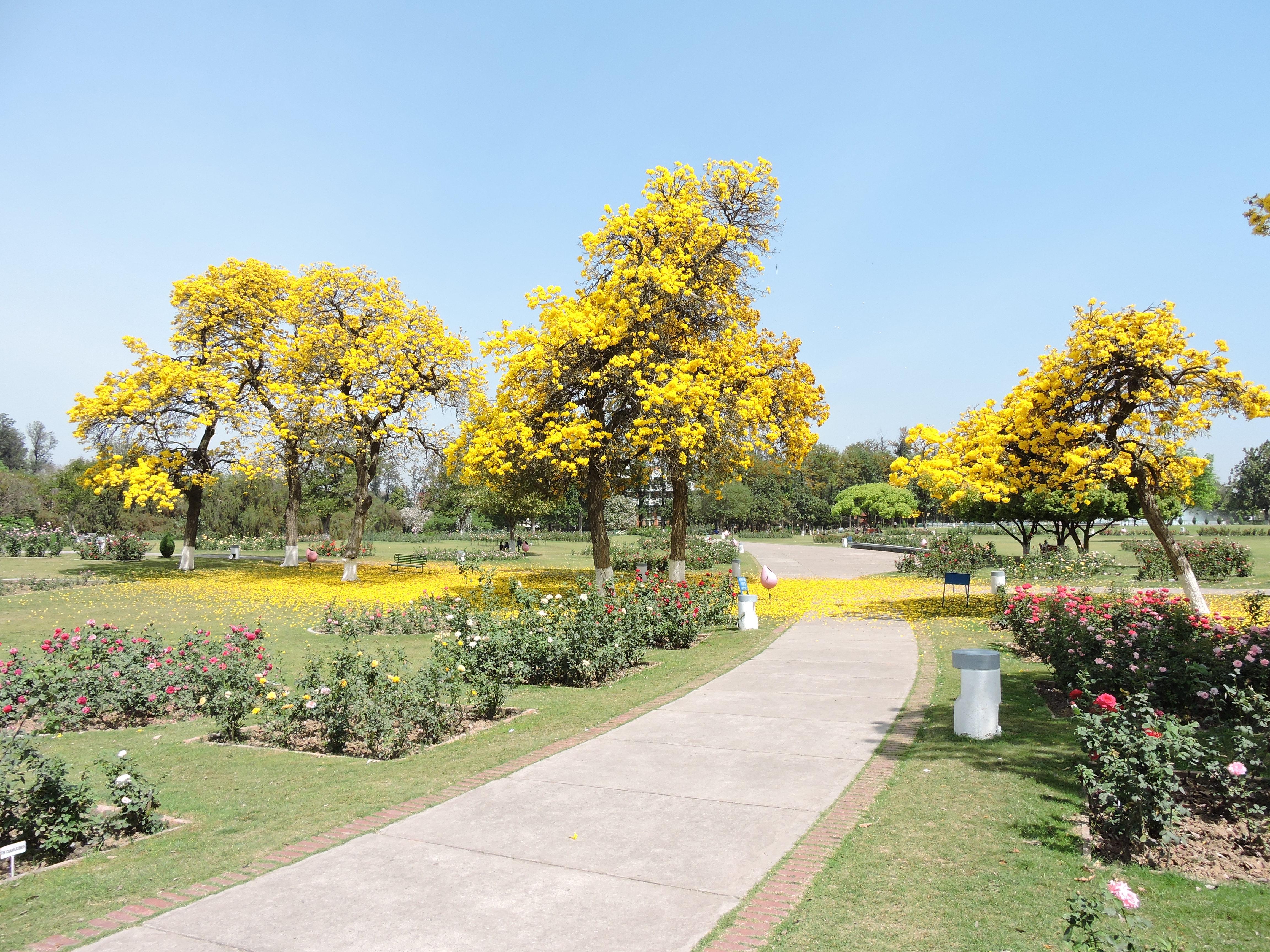 Filerose Gardenchandigarhjpg Wikimedia Commons