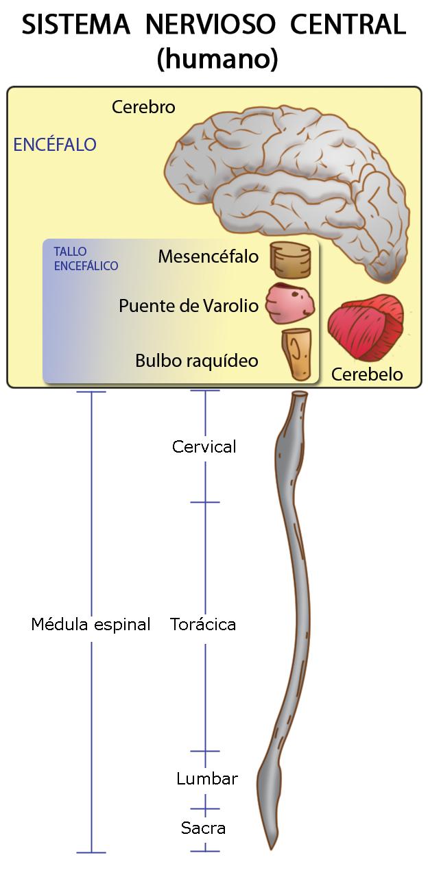 Nerbio-sistema zentralaren parteak, Xtabai-k egina.