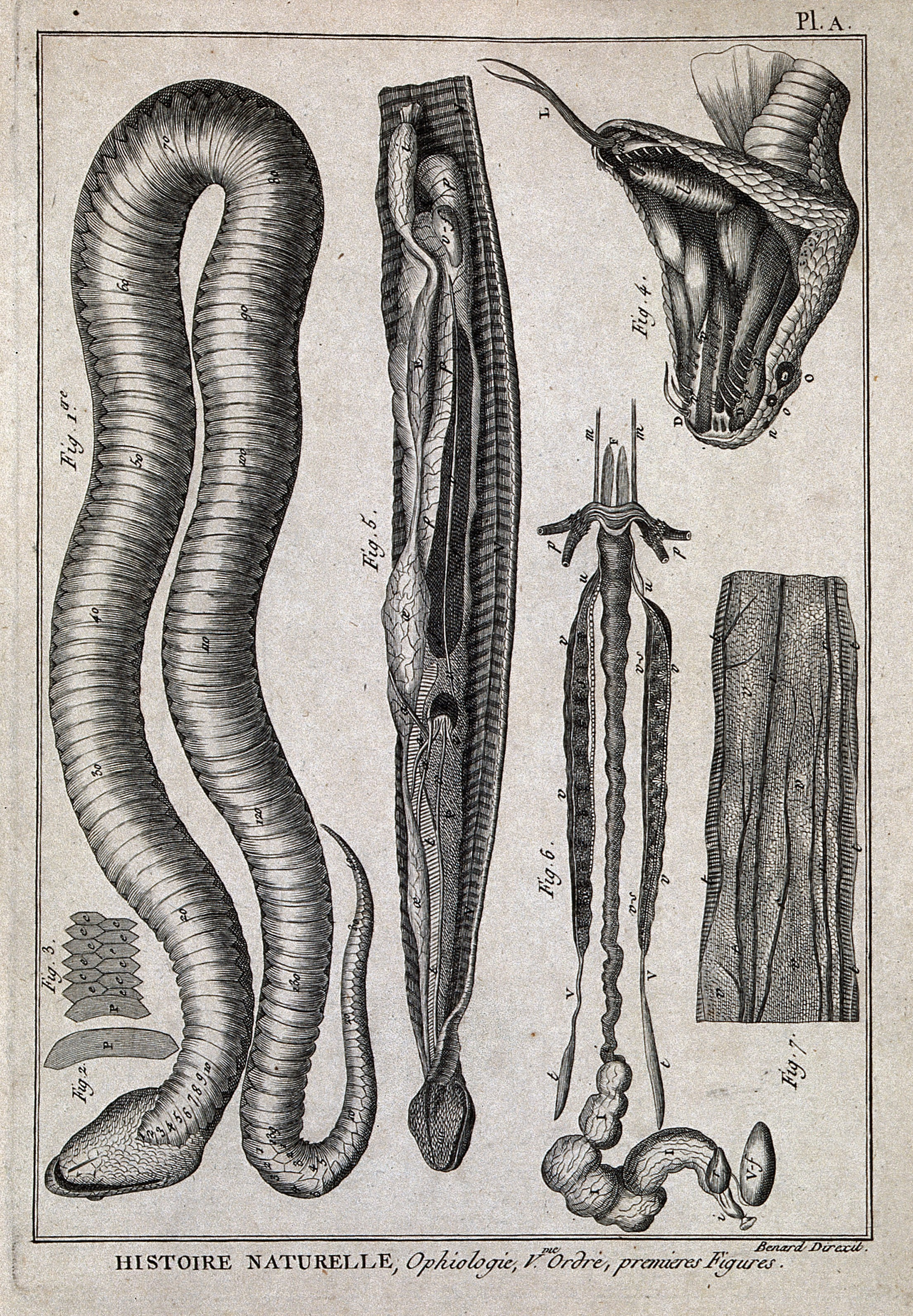 Snake anatomy engraving (1778). Iconographic Collections. Photo courtesy of Wikimedia Commons.