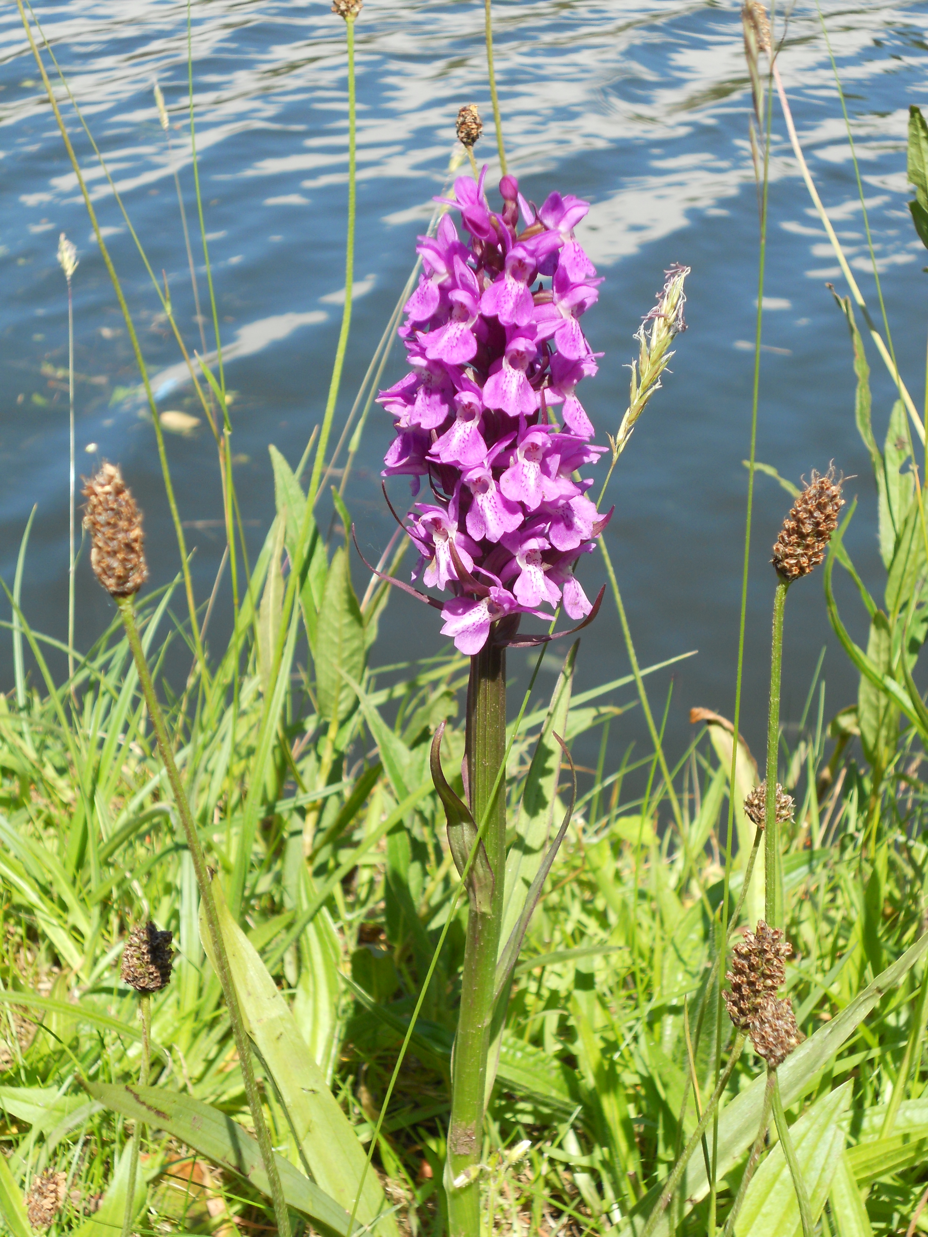 Southern Marsh Orchid File:southern Marsh Orchid on