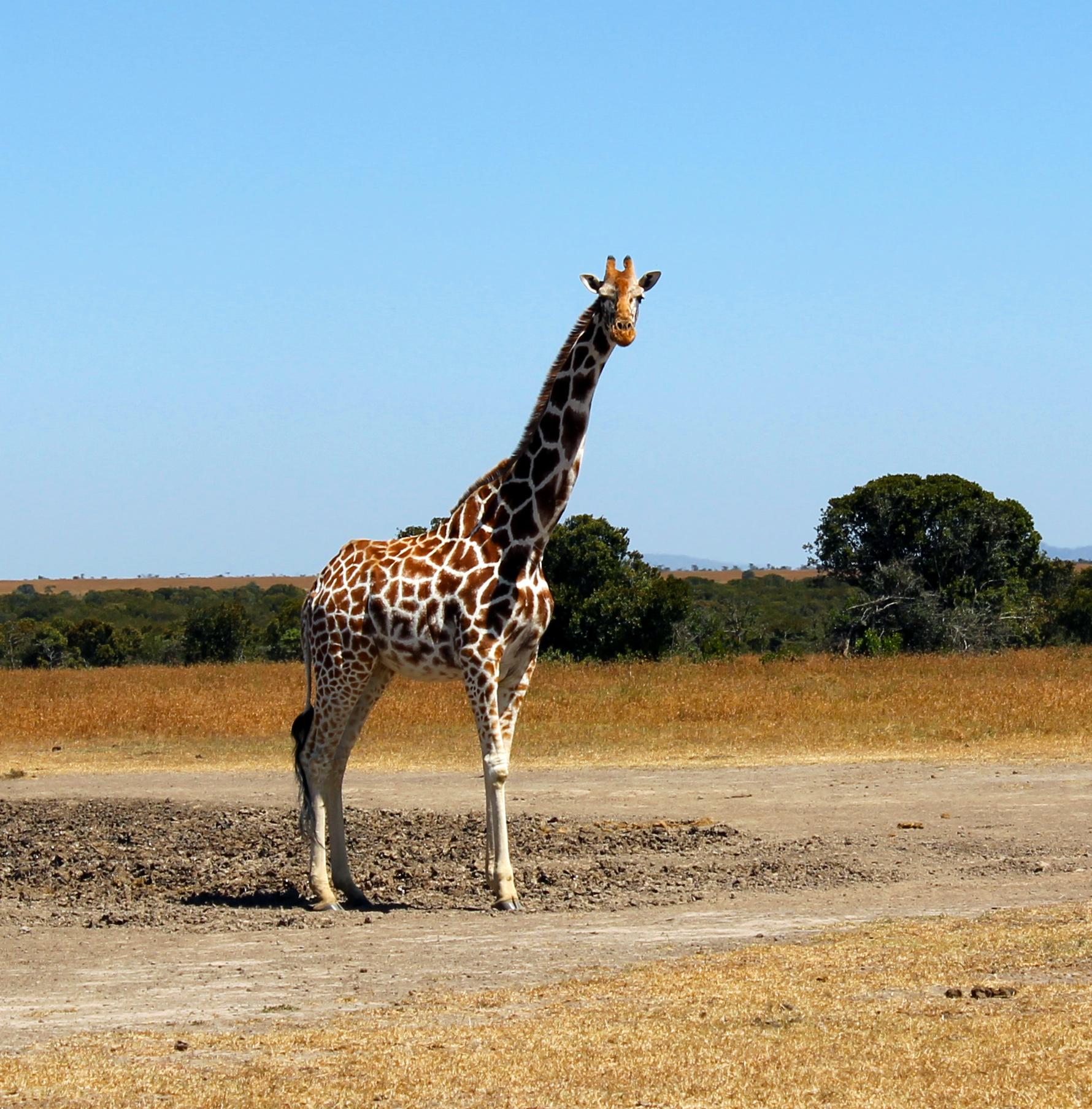 Картинки жирафов настоящих, мая