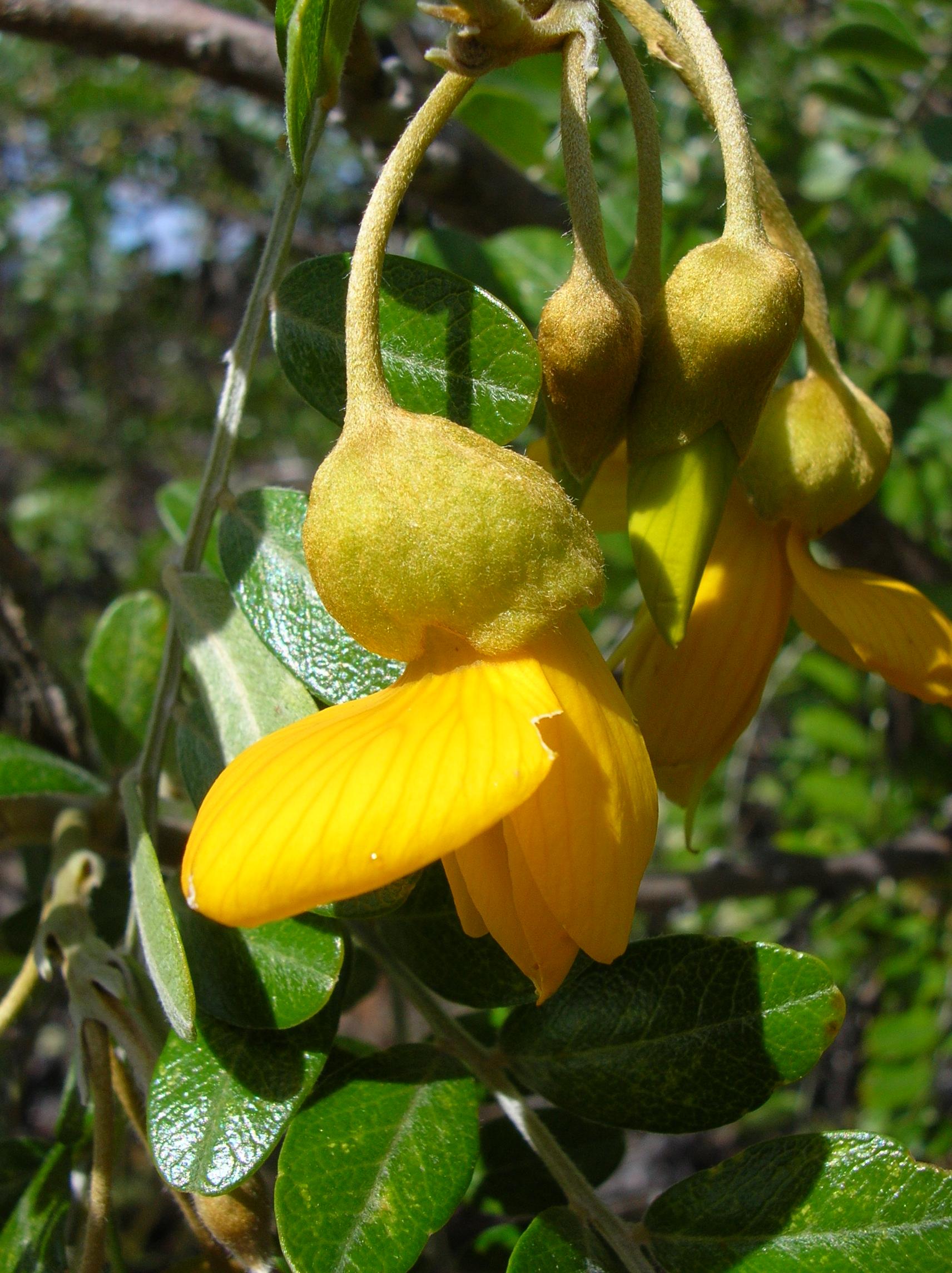 fleur de sophora