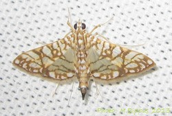 <i>Synclera traducalis</i> Species of moth