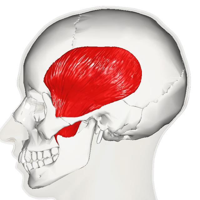 Musculus temporalis – Wikipedia