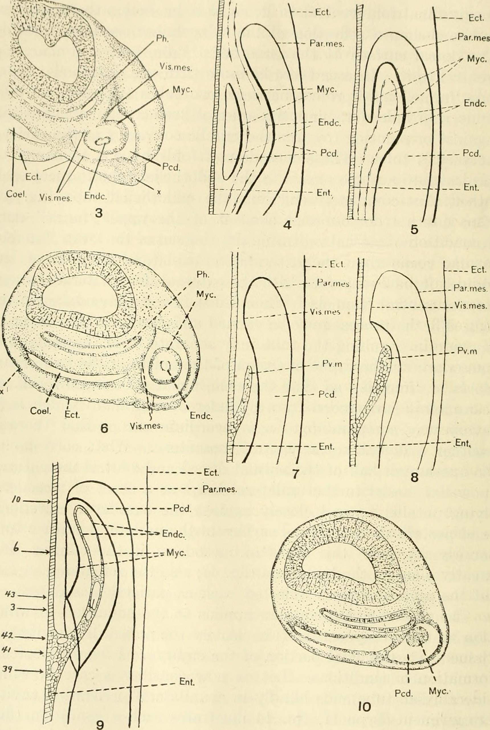 File:The American journal of anatomy (1917) (17532095394).jpg ...