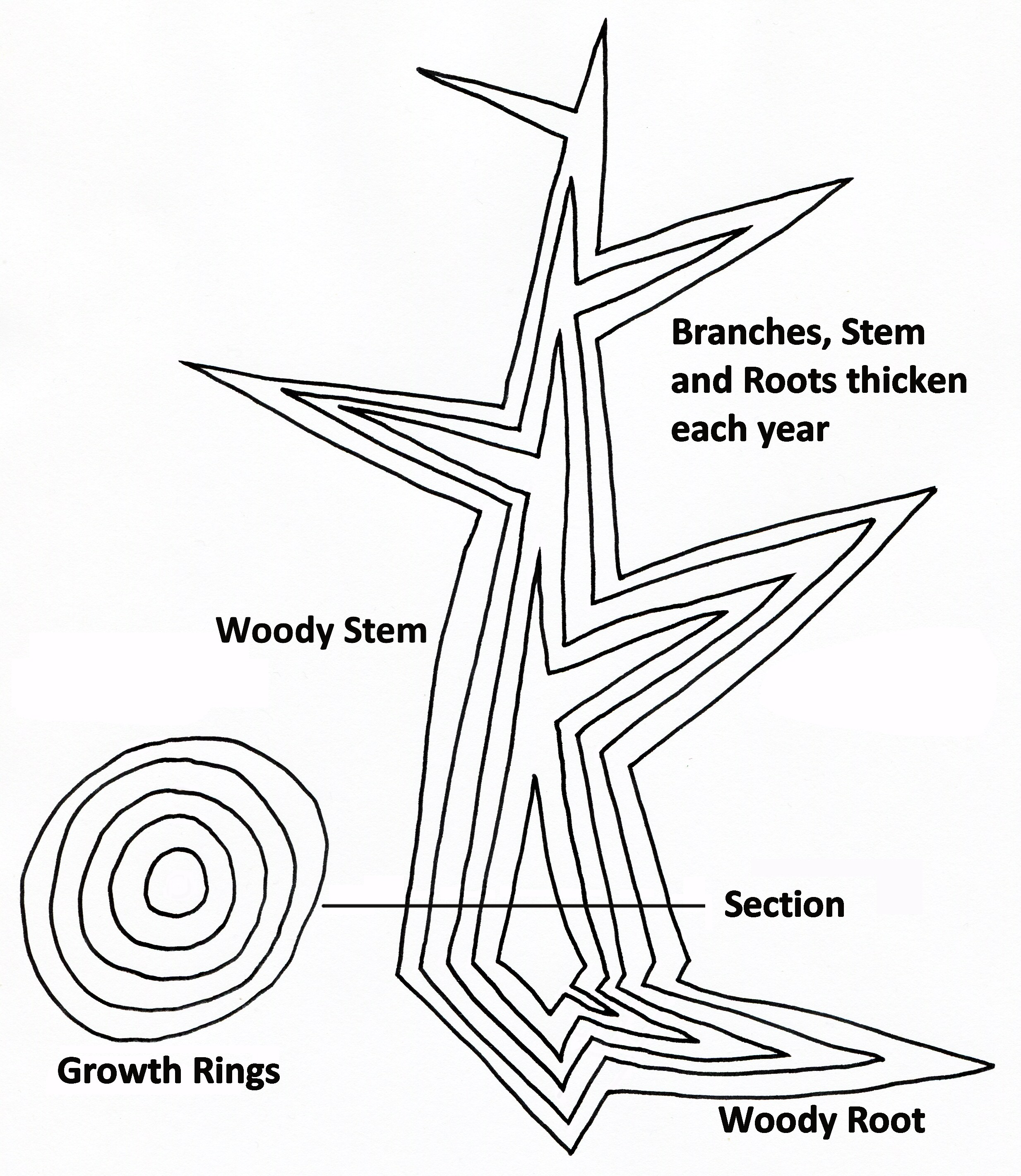Filetree Secondary Growth Diagram Wikimedia Commons Seed Germination Size Of