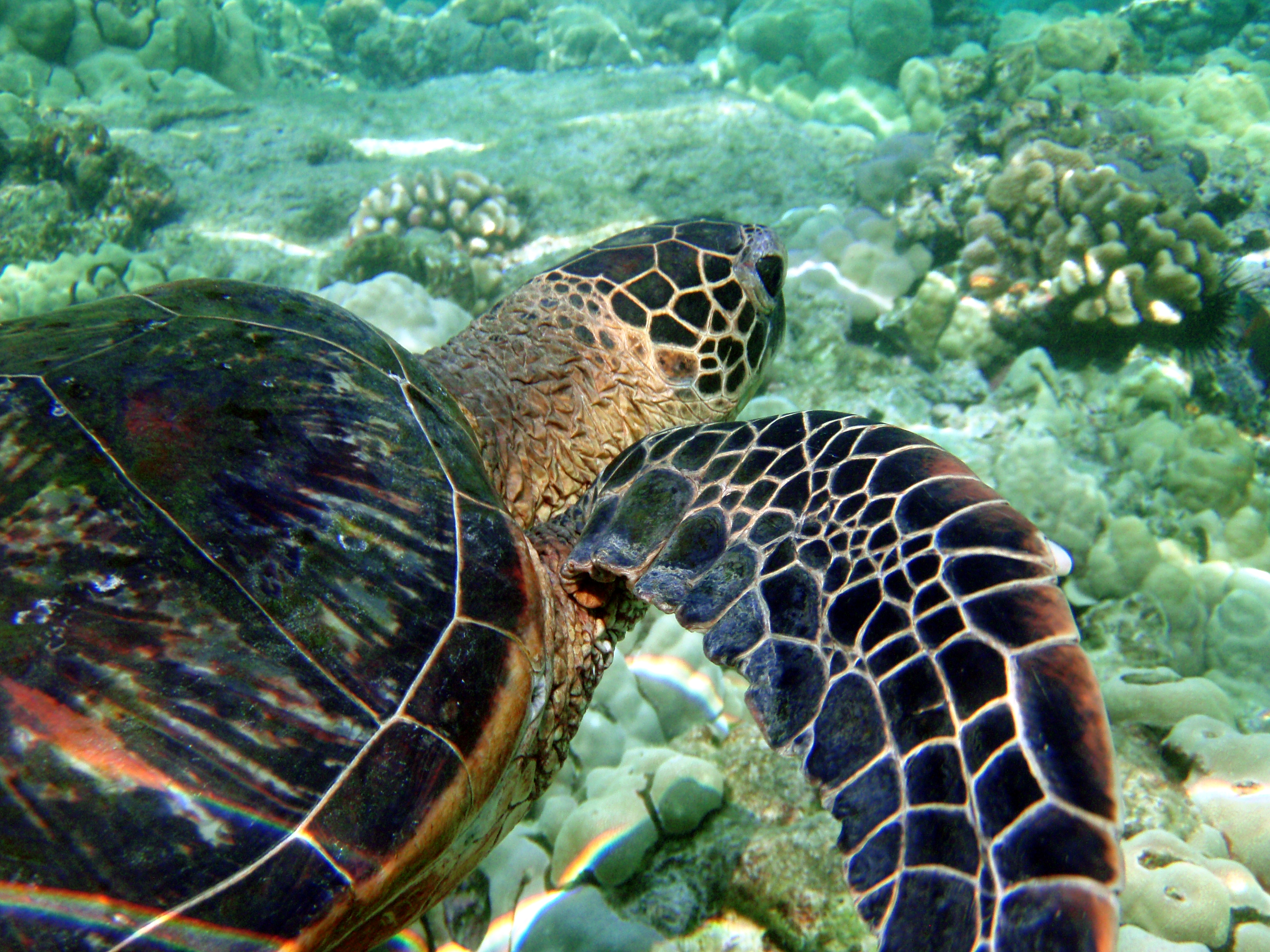 a description and an overview of the green turtle By combining together these and similar commands, intricate shapes and pictures can easily be drawn the turtle module is an extended reimplementation of the same.