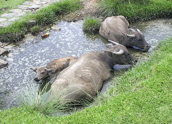 http://commons.wikipedia.org/wiki/File:Water_buffalo_bathing.jpg
