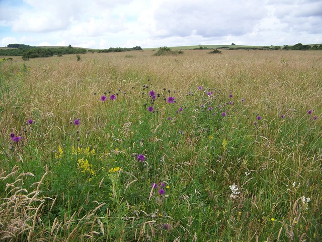 Wildflowers on Martin Down - geograph.org.uk - 871047