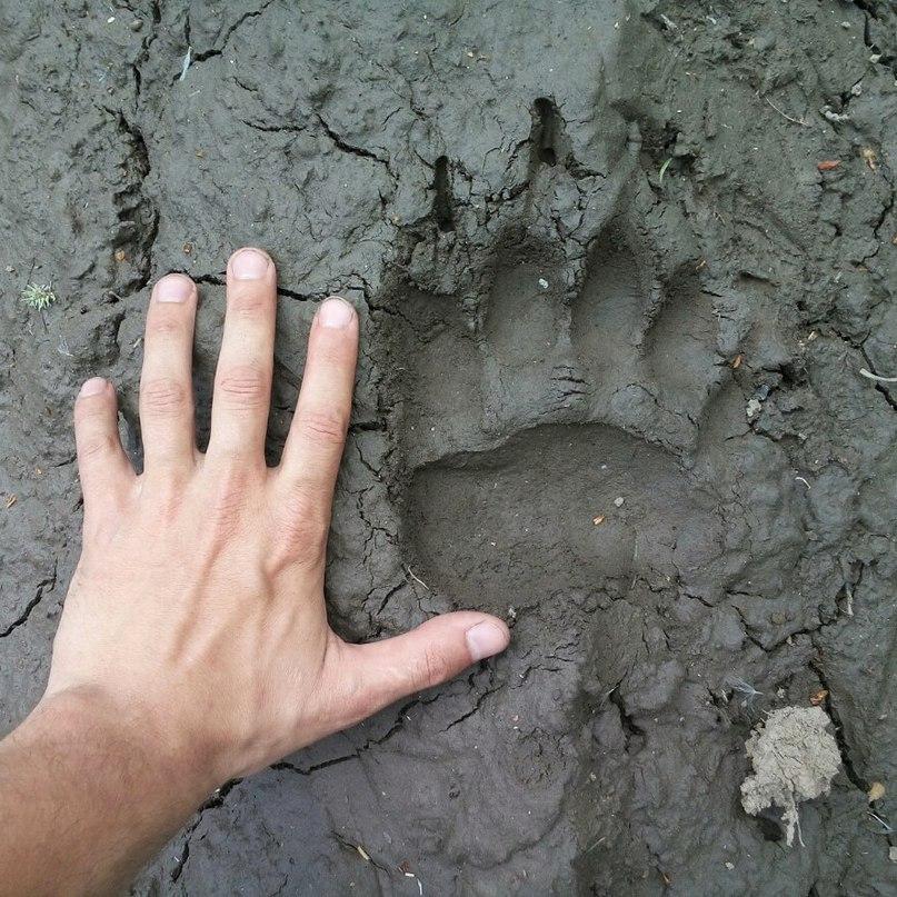 картинки след медведя