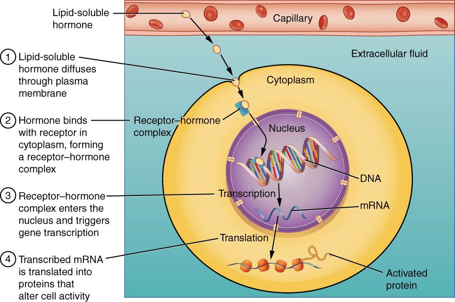 File:1803 Binding of Lipid-Soluble Hormones.jpg