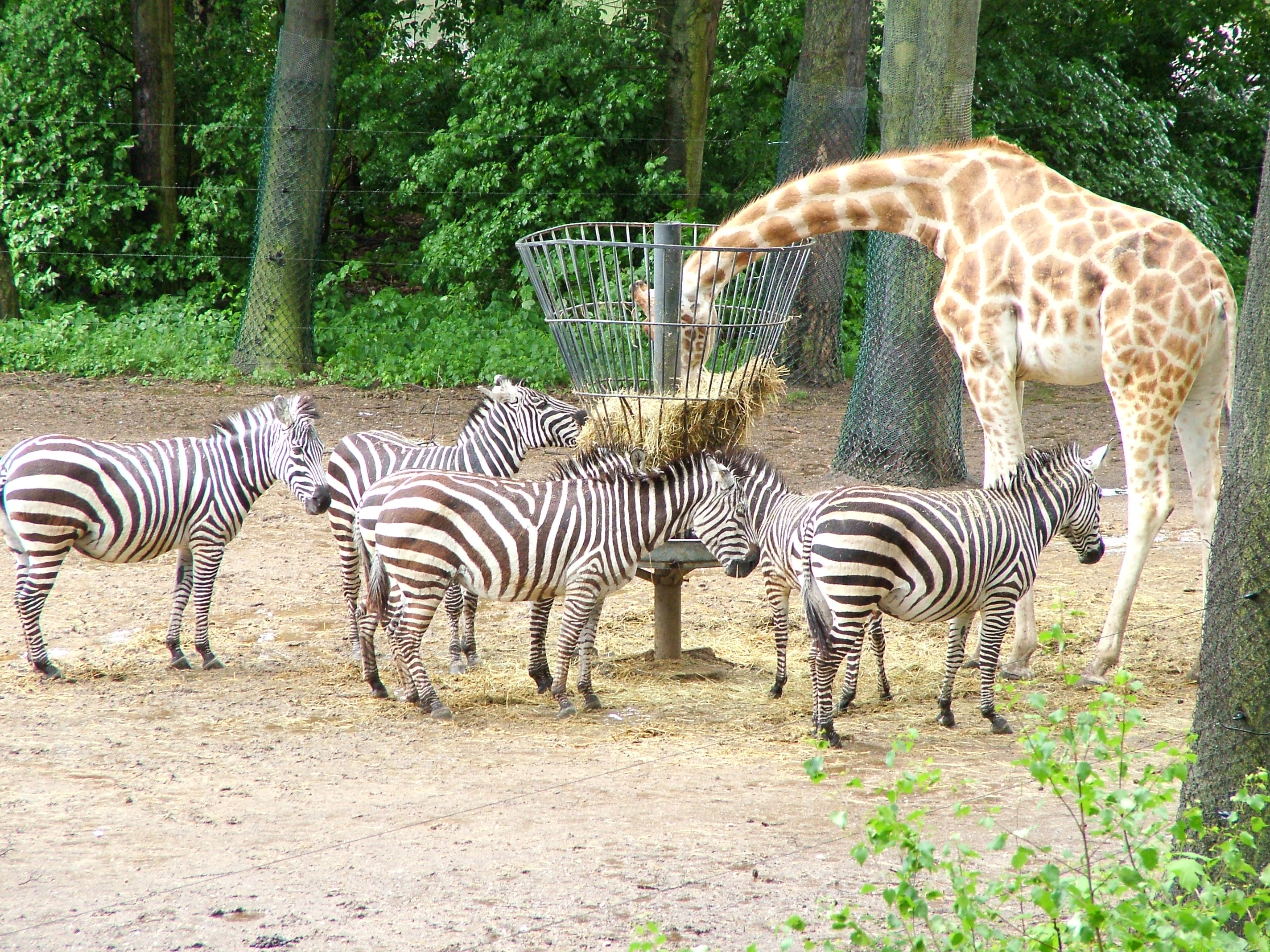 zebras and giraffes - photo #15