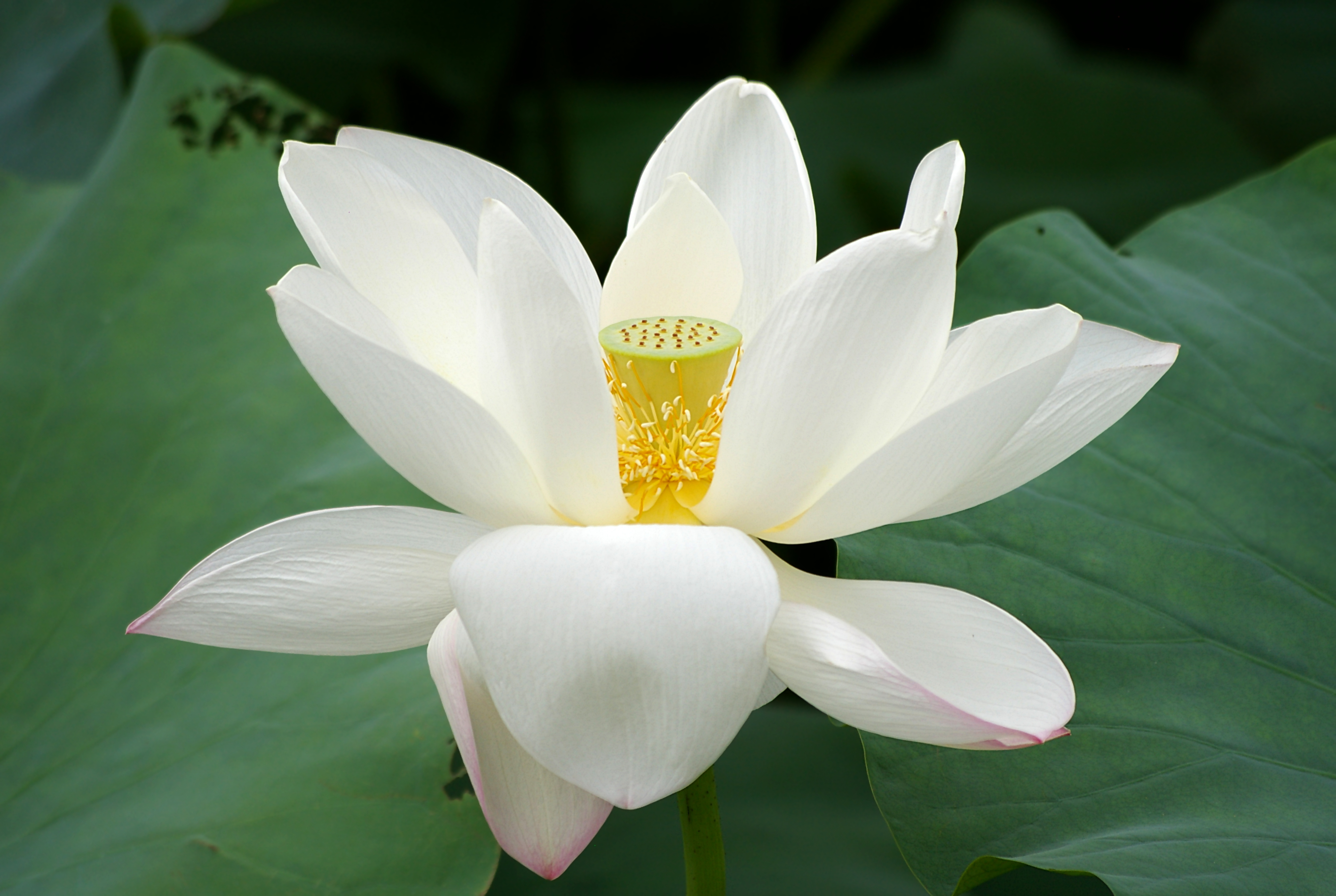 file lotus flower   wikimedia commons, Beautiful flower