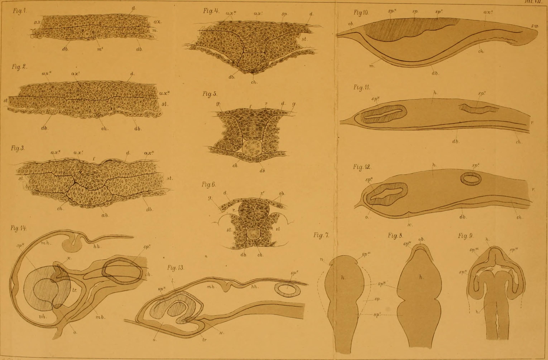 File:Archiv für mikroskopische Anatomie (1878) (20334193071).jpg ...