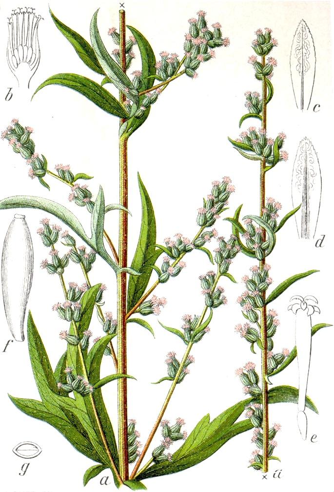 Artemisia_vulgaris_Sturm13035.jpg?uselang=nb