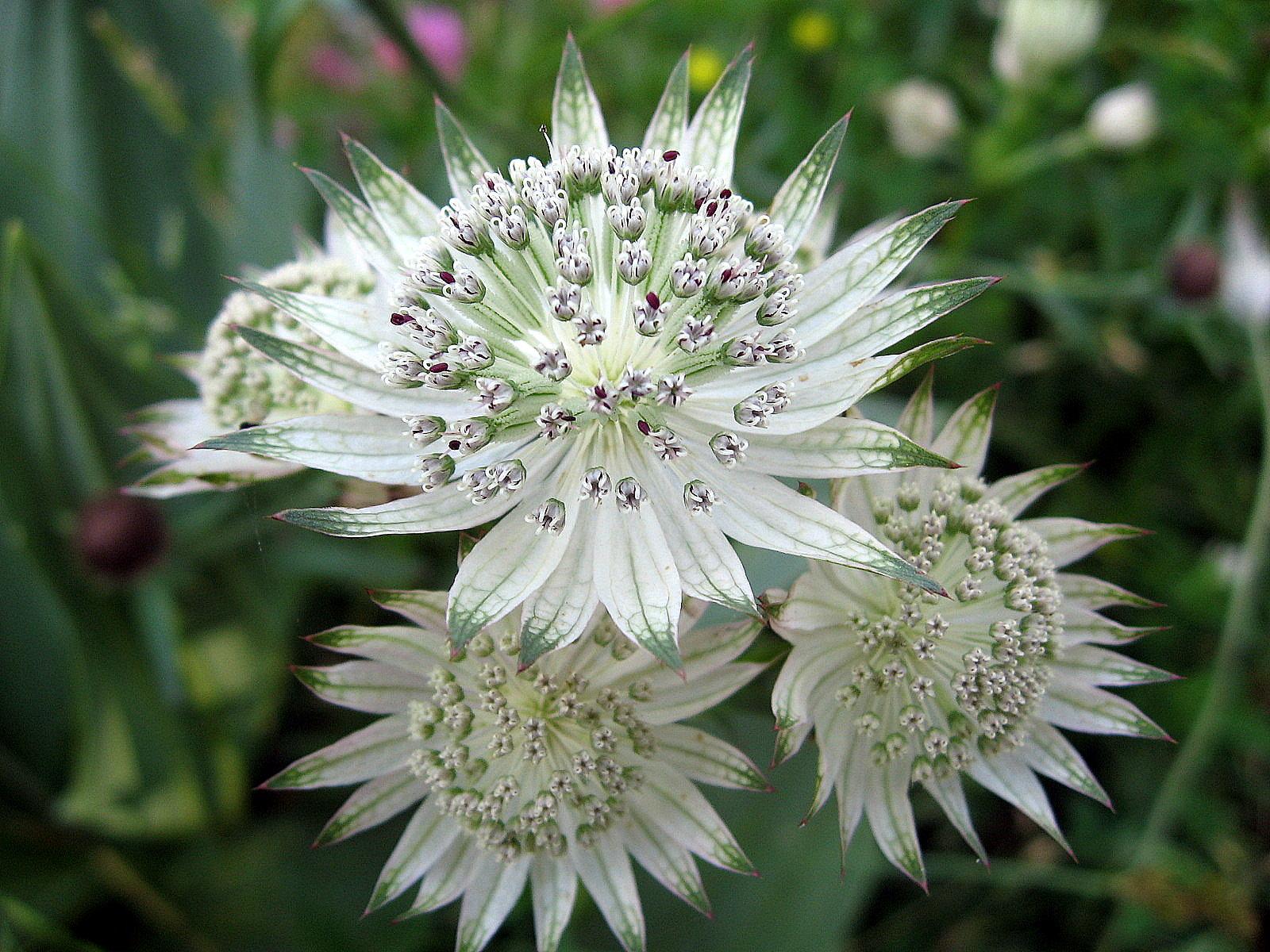 Астранция: выращивание и размножение
