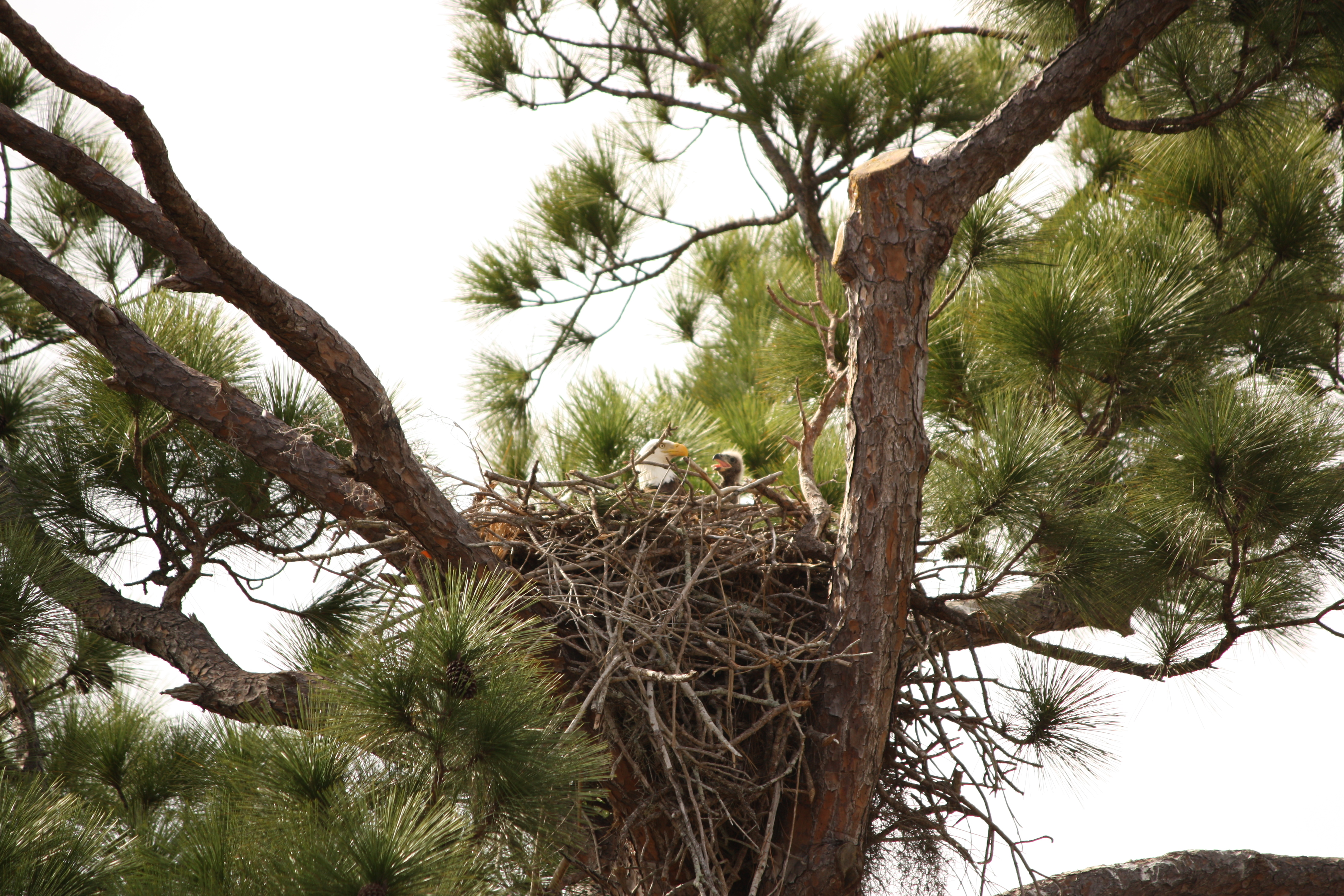 File:Baby Bald Eagle in nest.jpg - Wikimedia Commons