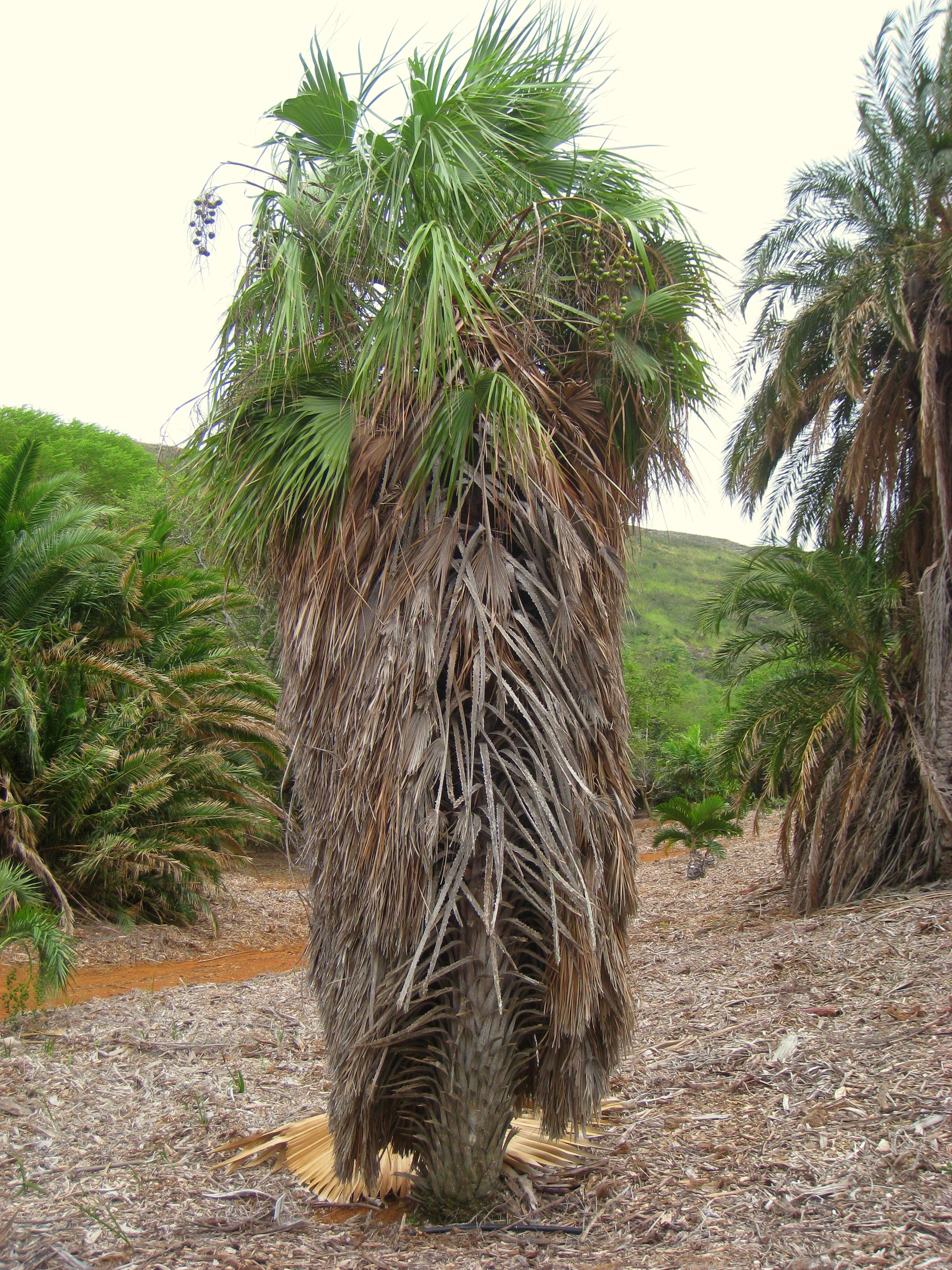 File Brahea Aculeata Koko Crater Botanical Garden Img