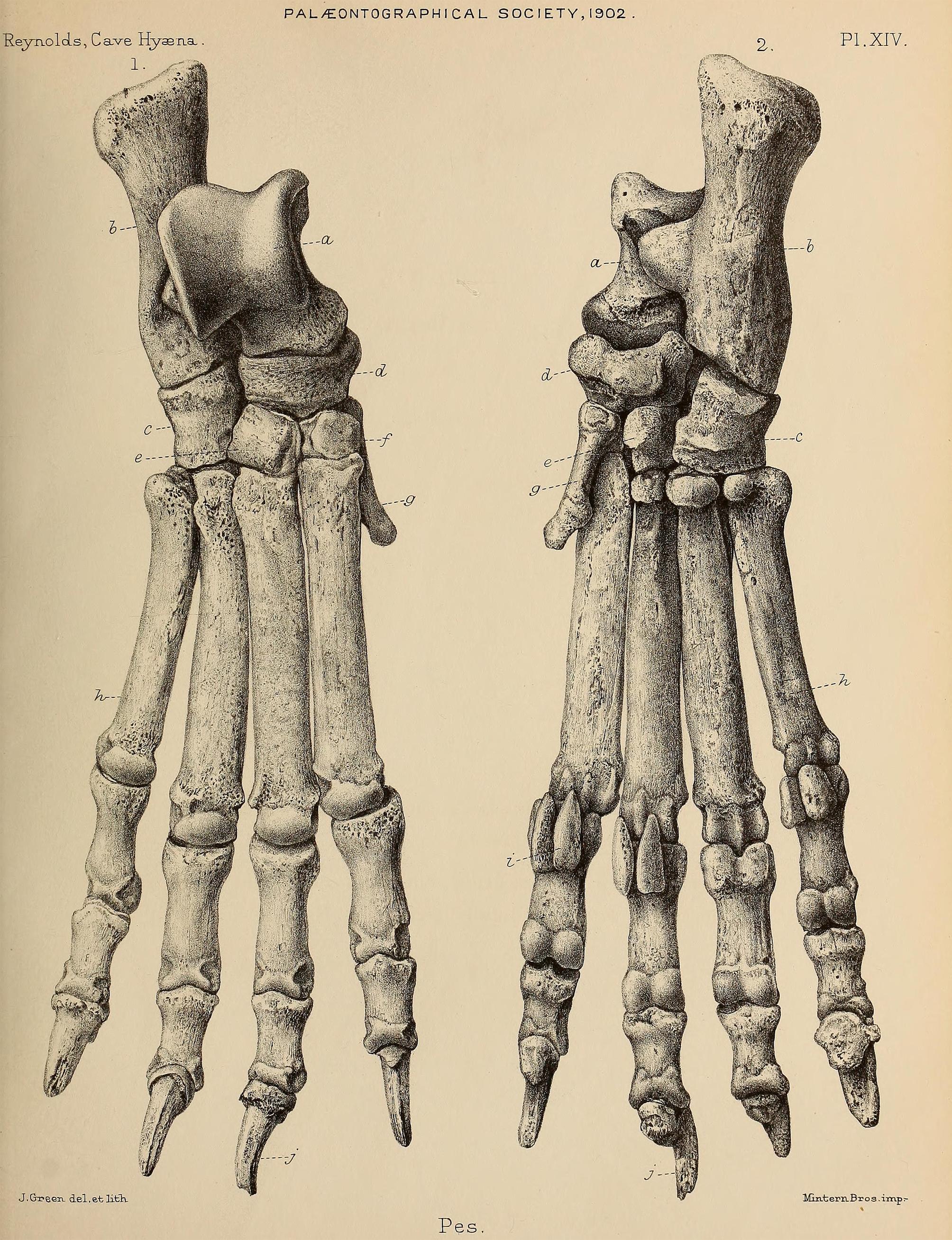 http://upload.wikimedia.org/wikipedia/commons/a/a9/British_Pleistocene_Mammalia_%281866%29_Cave_Hyena_Pes_1.png