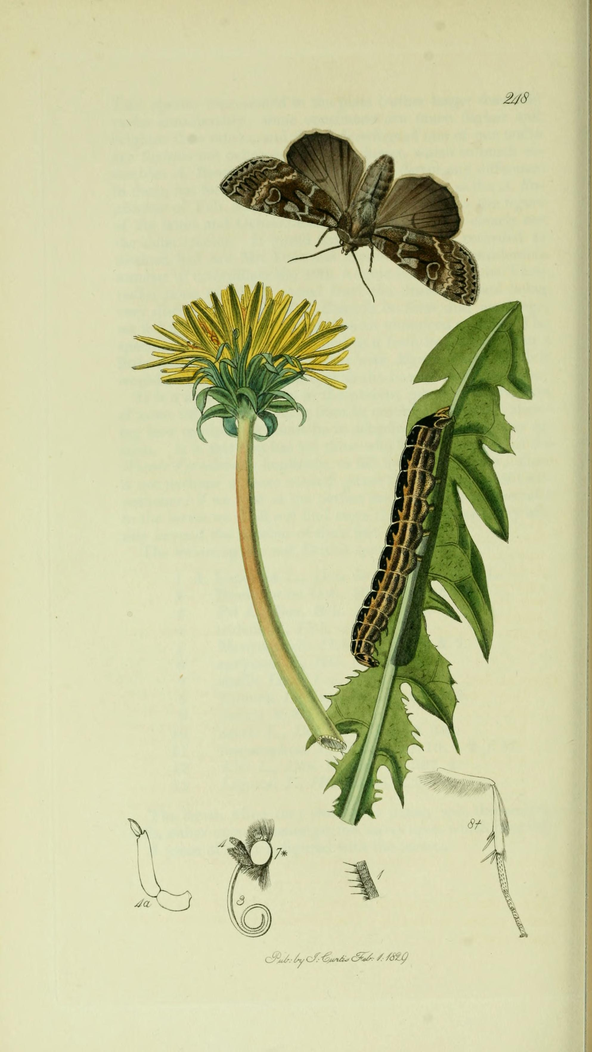 Illustration from John Curtis's British Entomology Volume 5