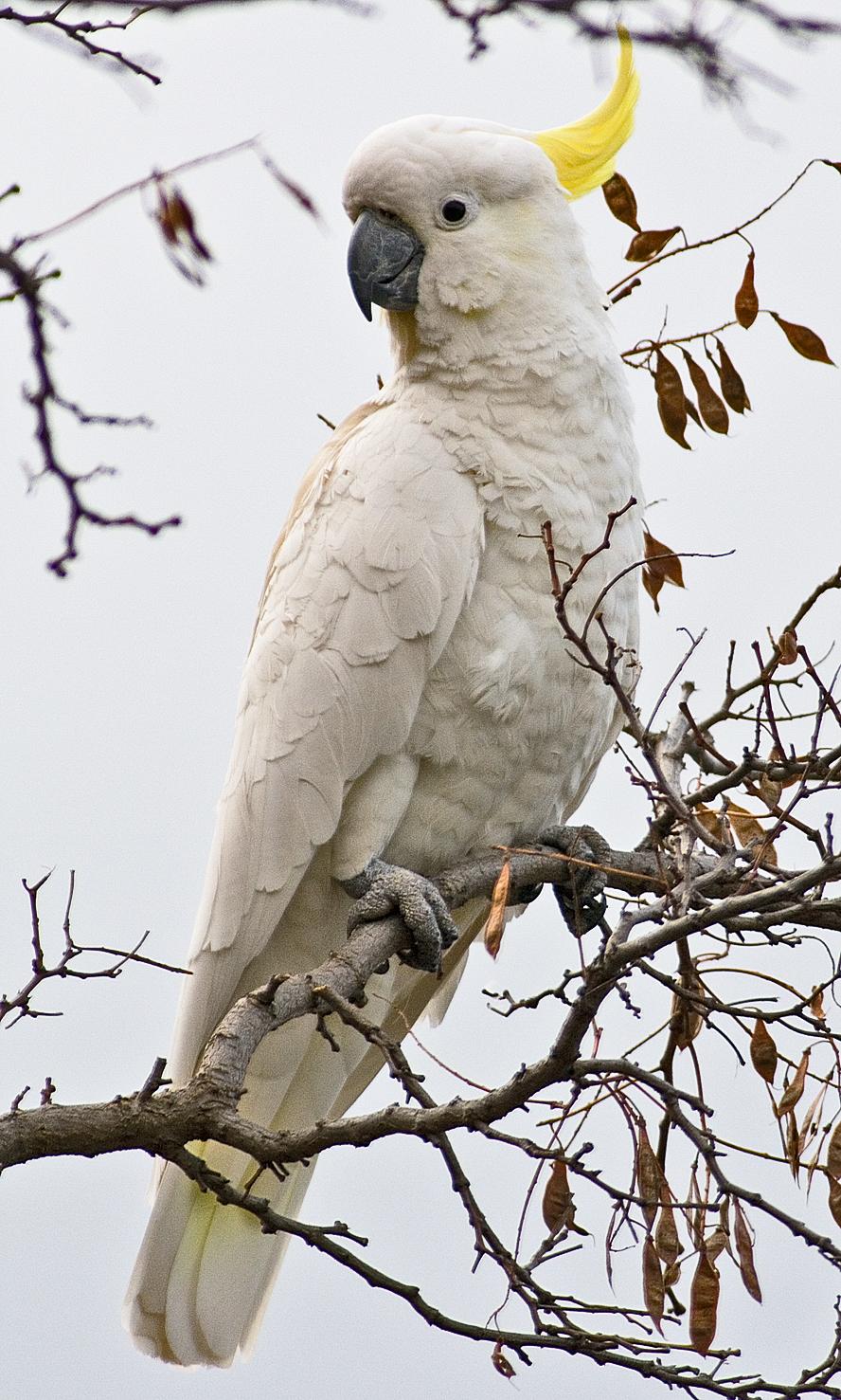Blue eyed triton cockatoo - photo#7