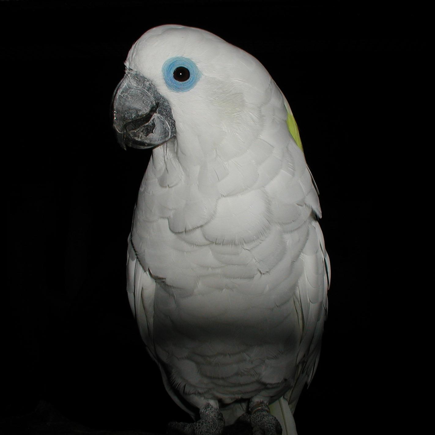 Blue Eyed Cockatoo Wikipedia