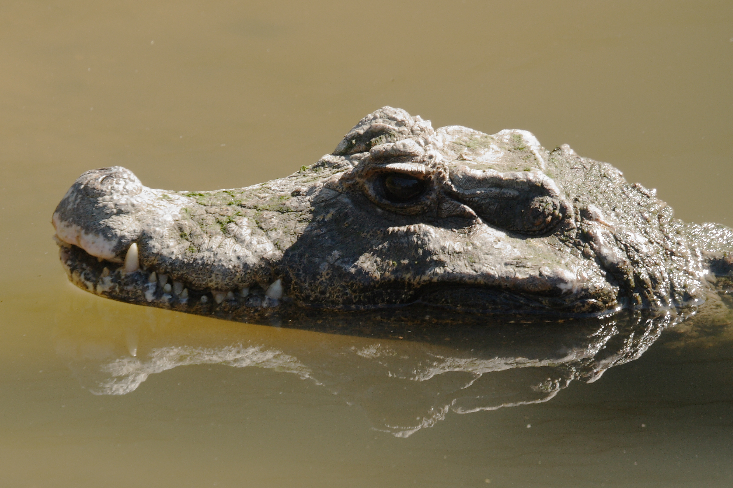 File:Caiman_displaying_fourth_tooth on Spot Difference