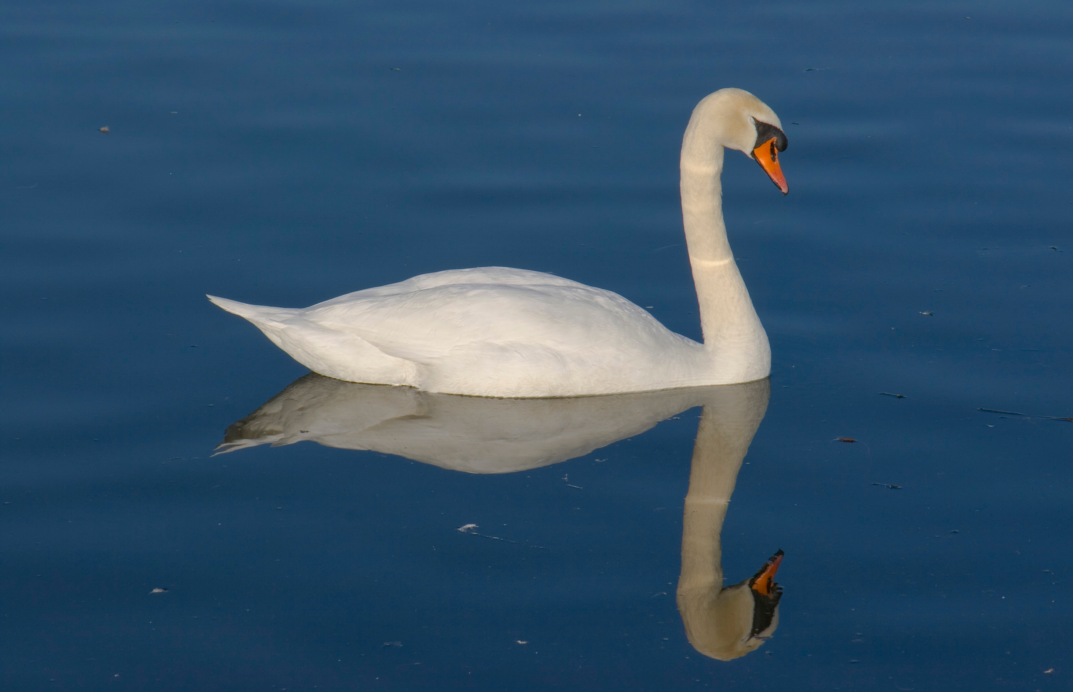 Image Result For Swan On A