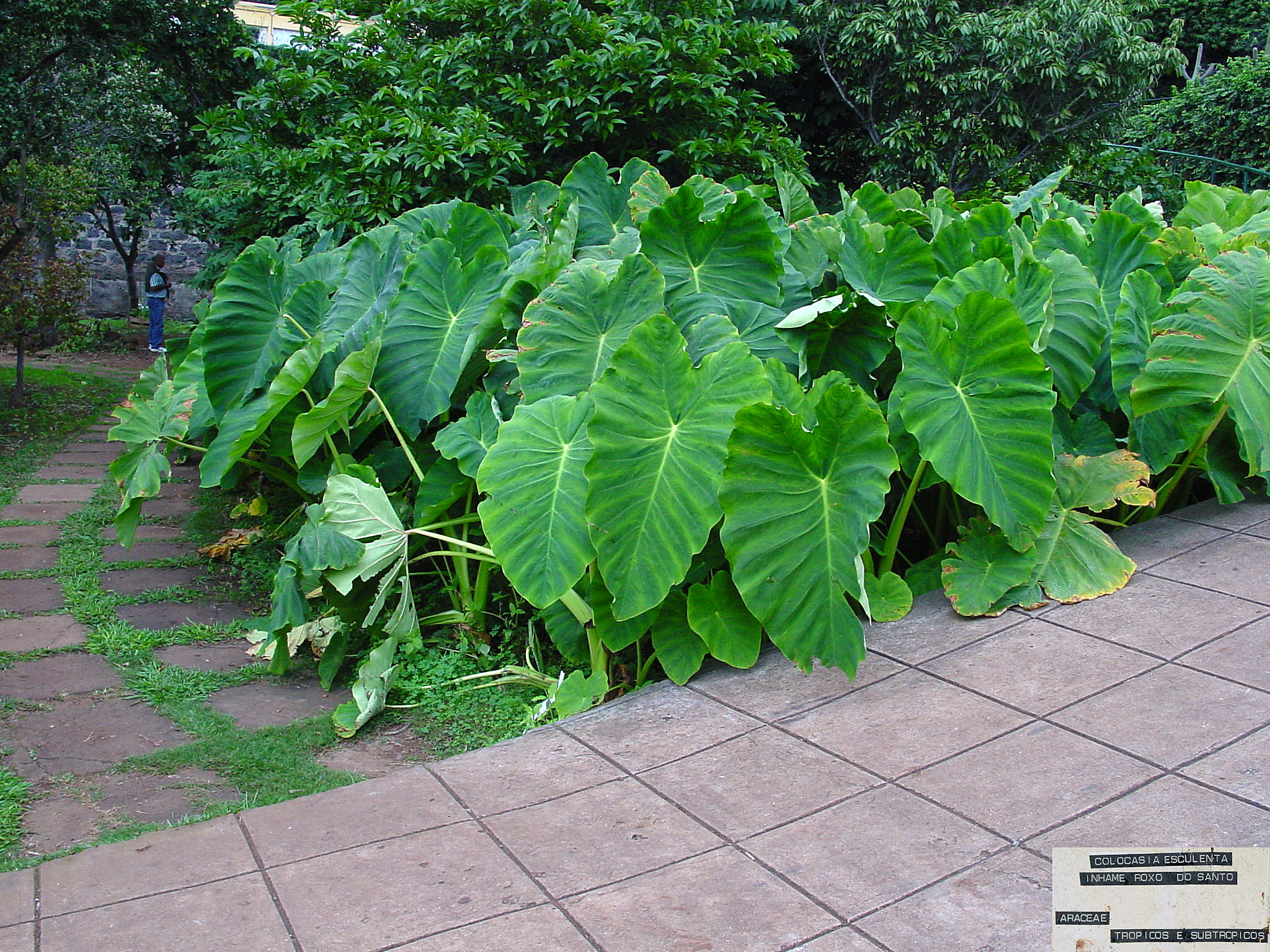complete plant description of colocasia esculenta Abstract taro (colocasia esculenta) leaves are composed of a multi-   morphological descriptions rather than detailed microscopic studies one early   plant material was obtained from drs m pearson, university of papua new  guinea.