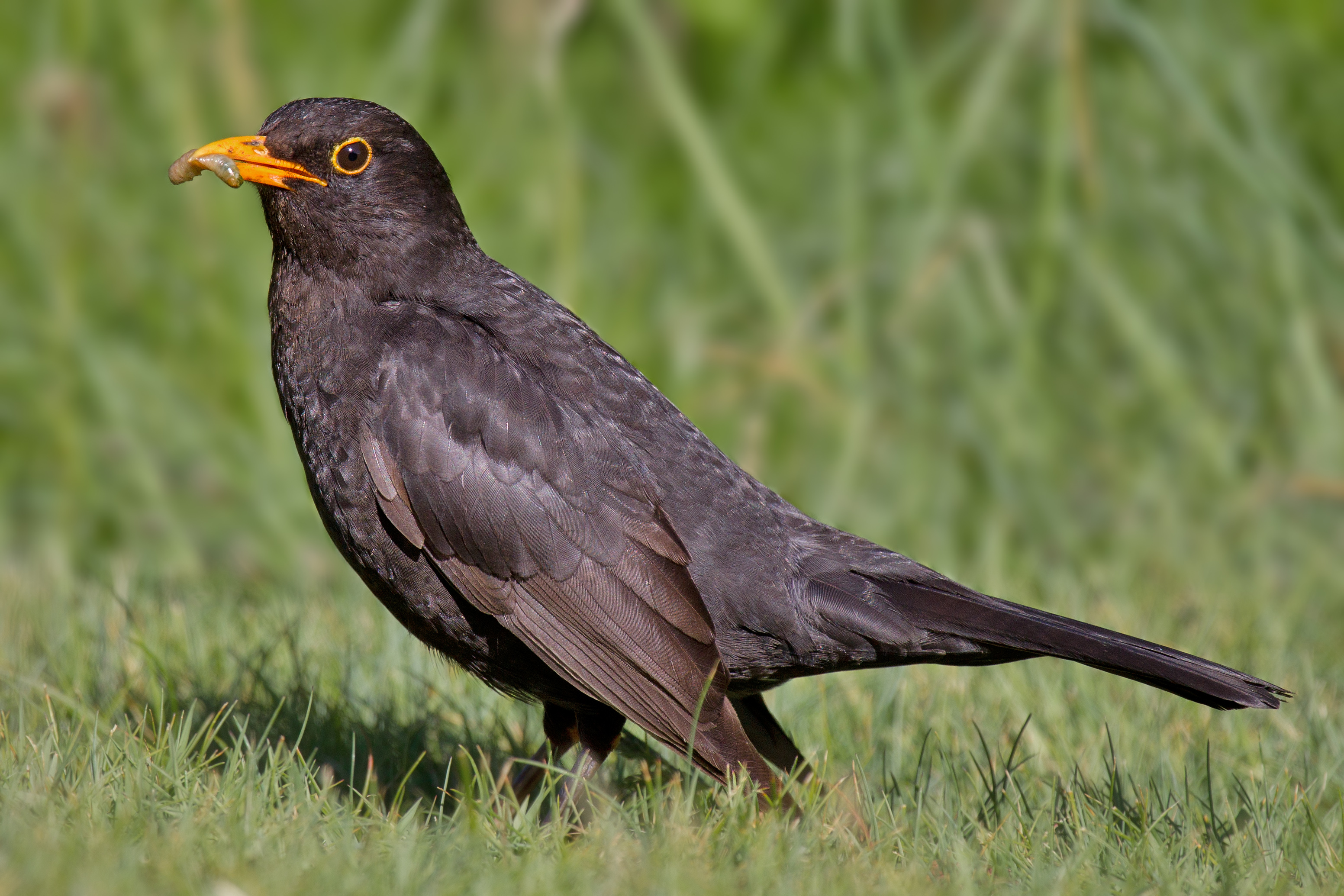Common Blackbird.jpg © Andreas Trepte (Wikimedia Commons - CC-BY-SA-2.5)