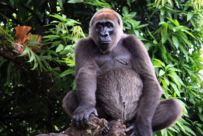 Rarest Gorilla Seen on Video Captured in Cameroon (Video)