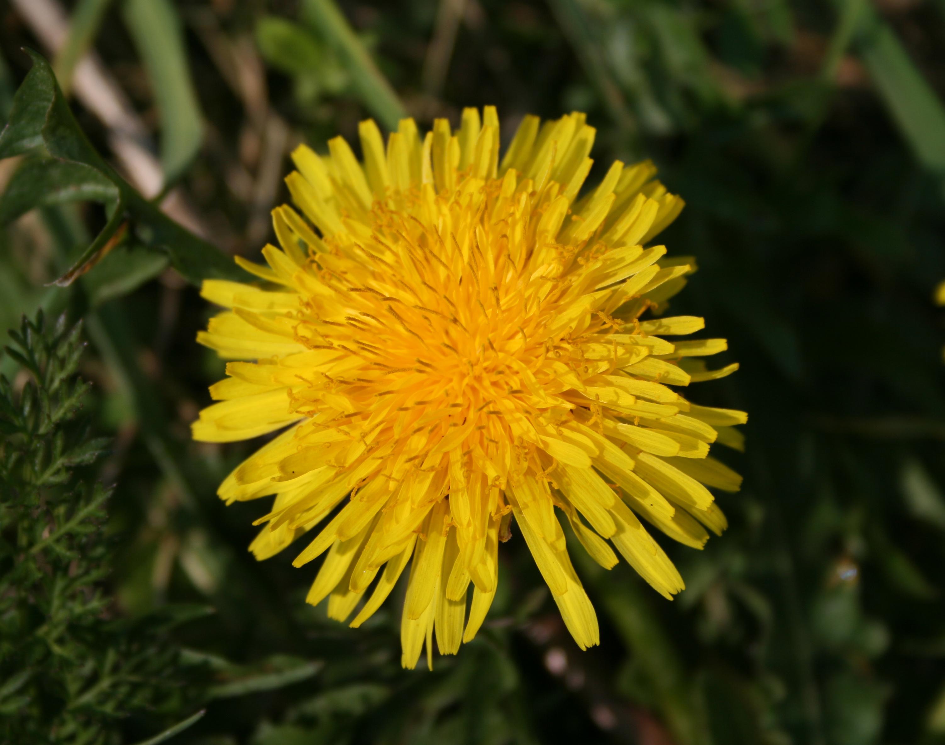 Http Commons Wikimedia Org Wiki File Fleur Pissenlit Jpg