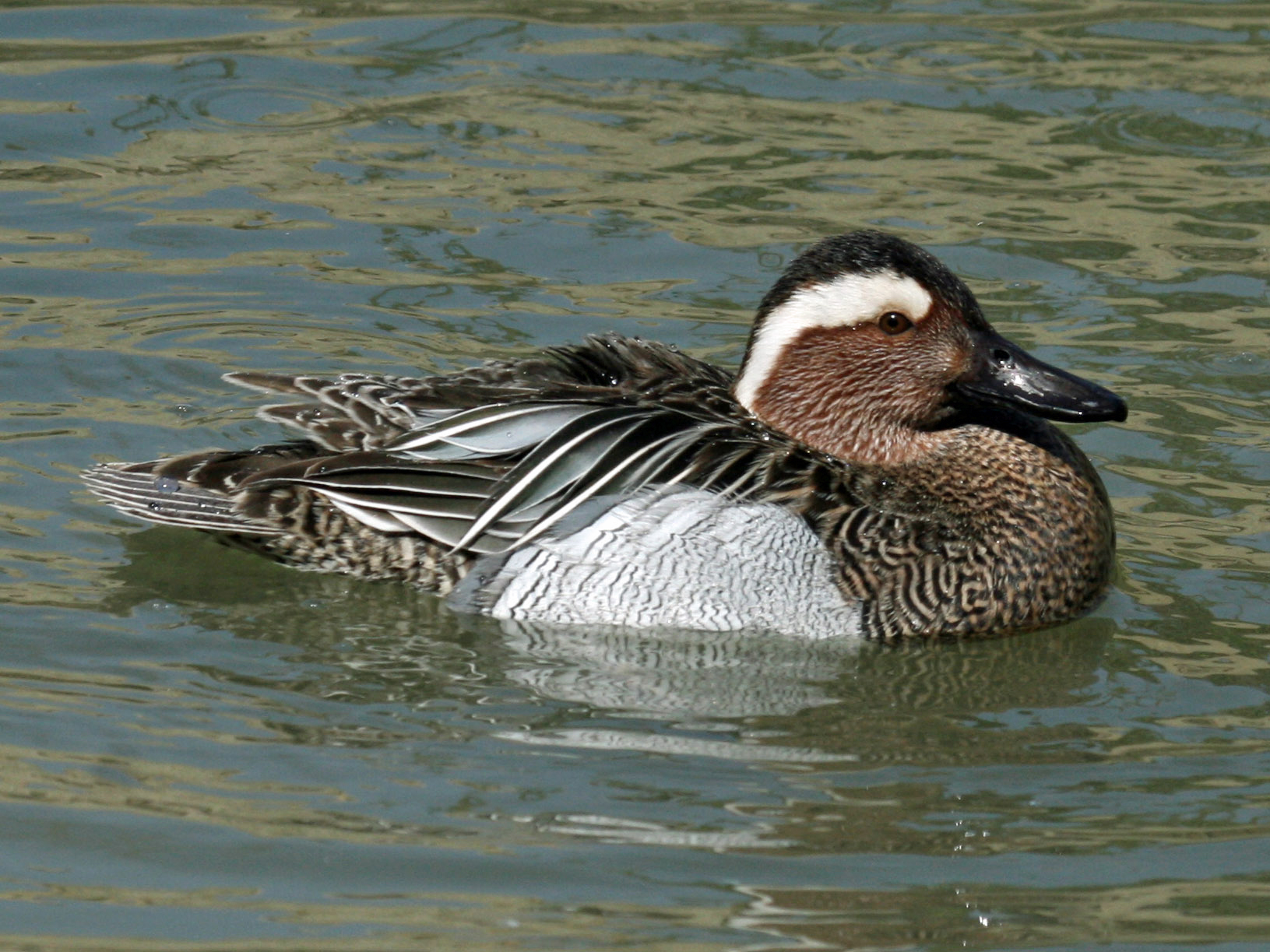 https://upload.wikimedia.org/wikipedia/commons/a/a9/Garganey_%28Anas_querquedula%29_RWD3.jpg