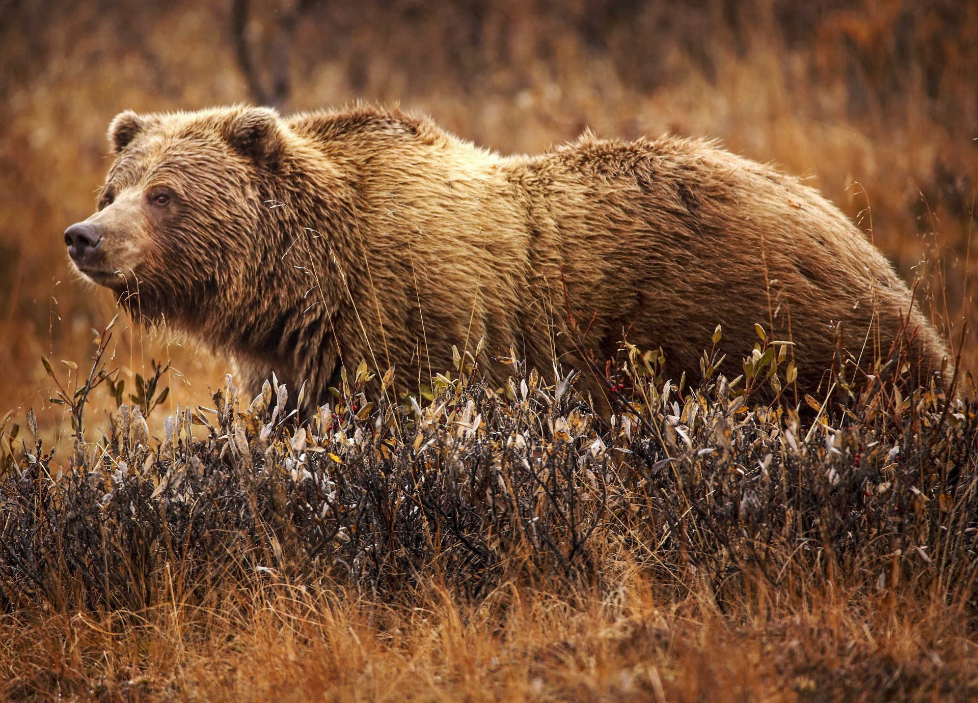 Wilson the grizzly bear.
