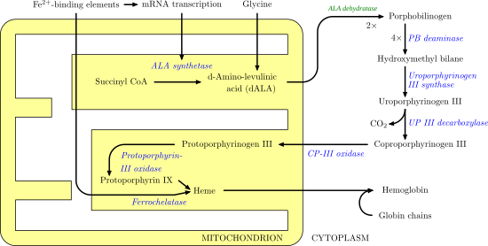 Heme synthesis—note that some reactions occur in the cytoplasm and some in the mitochondrion (yellow)